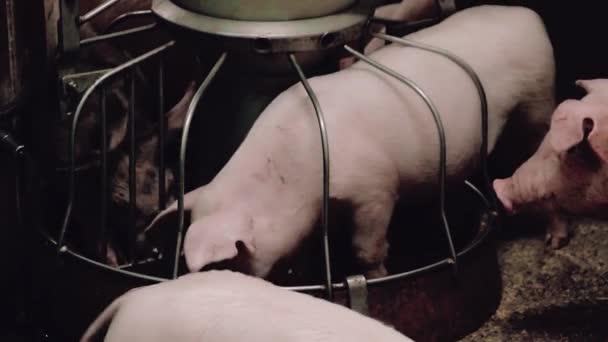 Malá prasata pro odchovu, jídlo z koryta