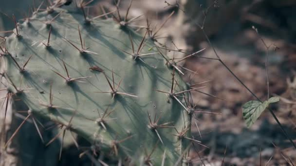 green flat cactus with large needles grows in grey soil