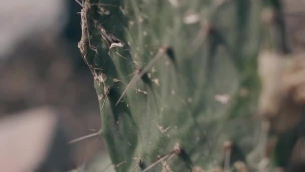 a sivatagi oldalon nagy éles tűvel felnövő kaktusz