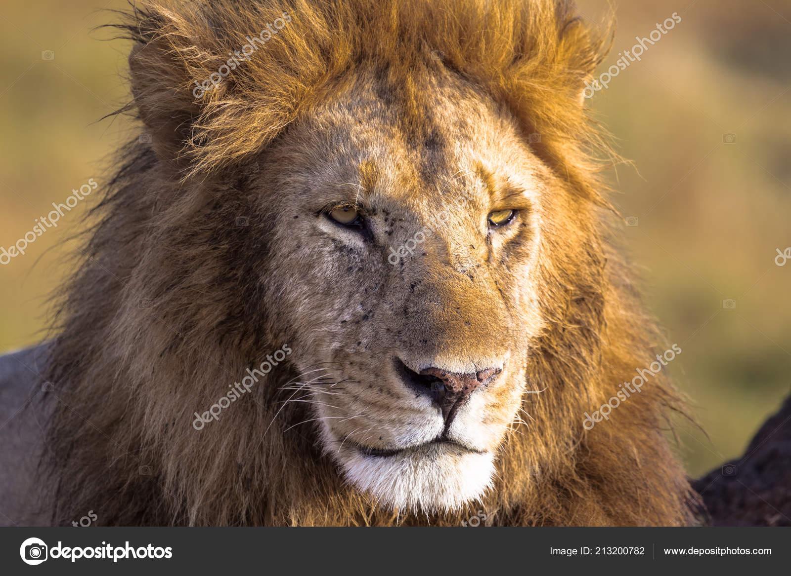 Cabeça leão quadro completo savannah masai mara África u stock