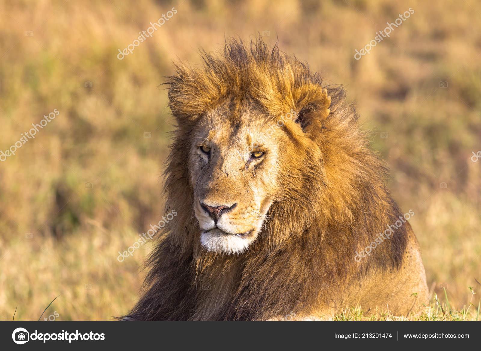 Cabeça leão africano quadro completo savannah masai mara África