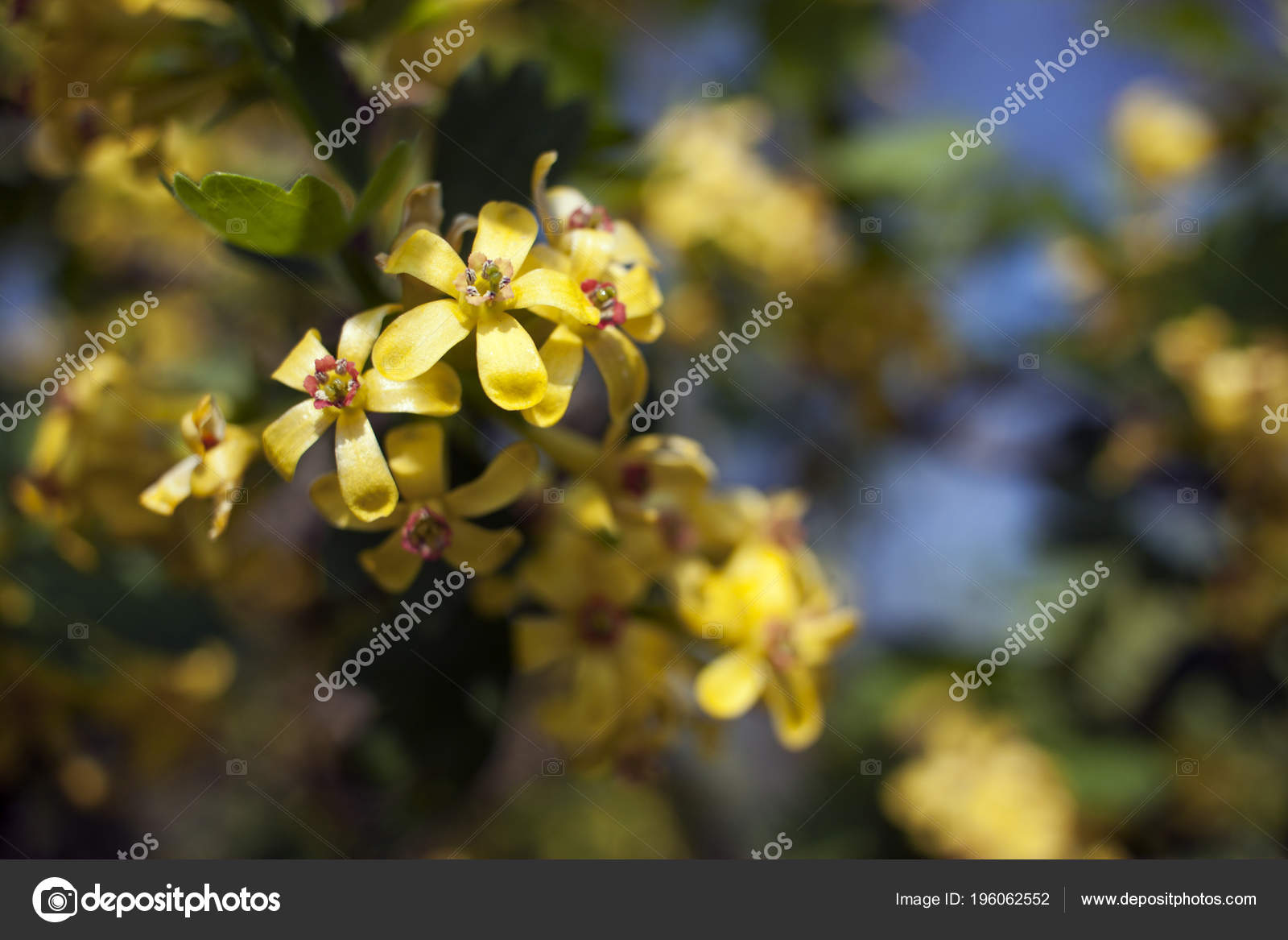 Flowering currant yellow flowers spring ribes aureum stock photo flowering currant yellow flowers spring ribes aureum stock photo mightylinksfo