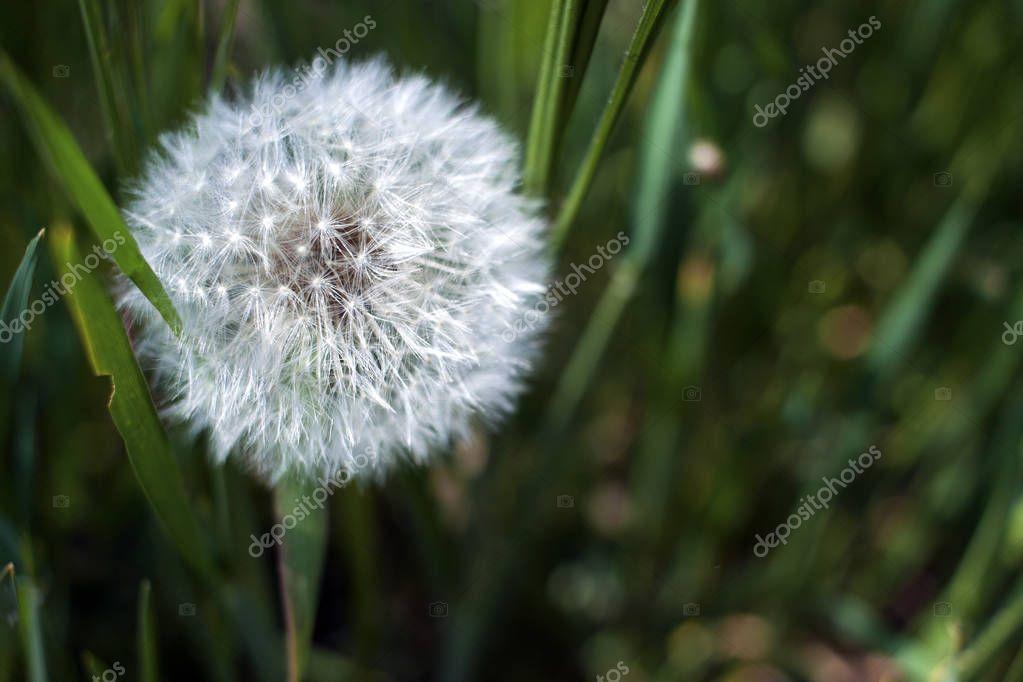 Dandelion seeds in sunlight on a fresh green morning background
