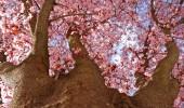 Japanese plum tree blossom against blue sky