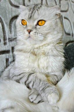 portrait of Scottish fold cat at home