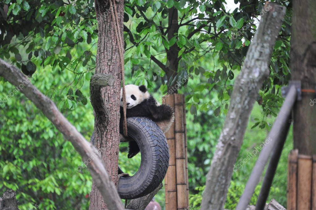 A giant panda cub plays with a hanging tire on a tree at a base of China Conservation and Research Centre for the Giant Panda in southwest China's Sichuan province, 23 April 2018