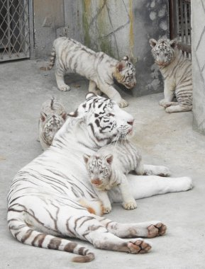 The white tiger quadruplets play with their mother Meng Meng during their public debut at the Xinpu park in Lianyungang city, east China's Jiangsu province, 8 November 2017