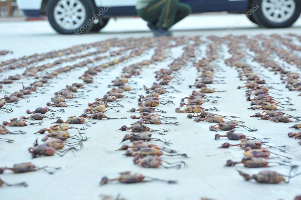 Seized wild birds hunted by a gang are pictured in Nantong city, east China's Jiangsu province, 26 August 2016