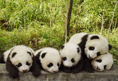 Five giant panda cubs are seen at the China Conservation and Research Center for the Giant Panda in the Wolong Natinoal Natural Reserve, southwest Chinas Sichuan province, 7 November 2005.