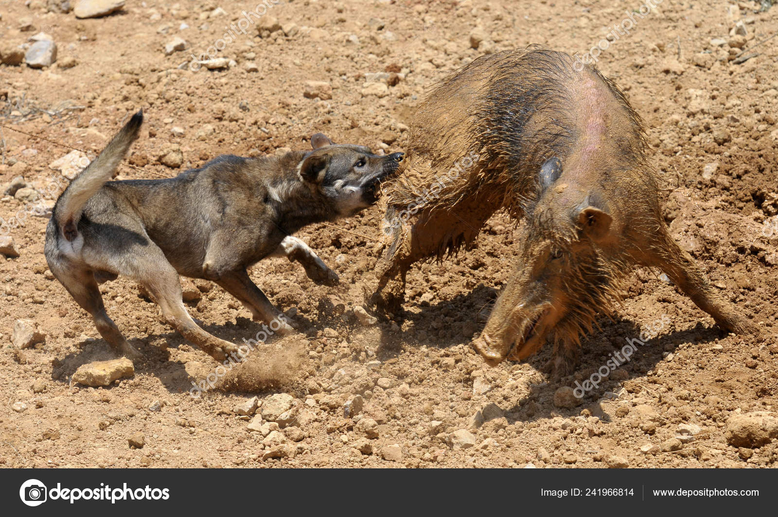 Dog Left Fights Wild Boar Dog Boar Competition Xiasi Town