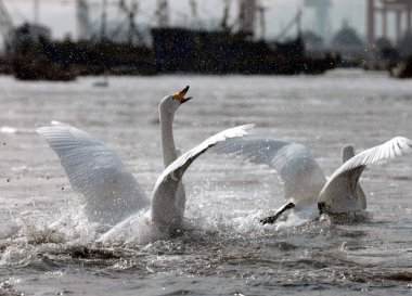 A swan challenges another during a fight for a mate in the Yandunjiao Swan Lake in Weihan city, east Chinas Shandong province, 4 February 2012