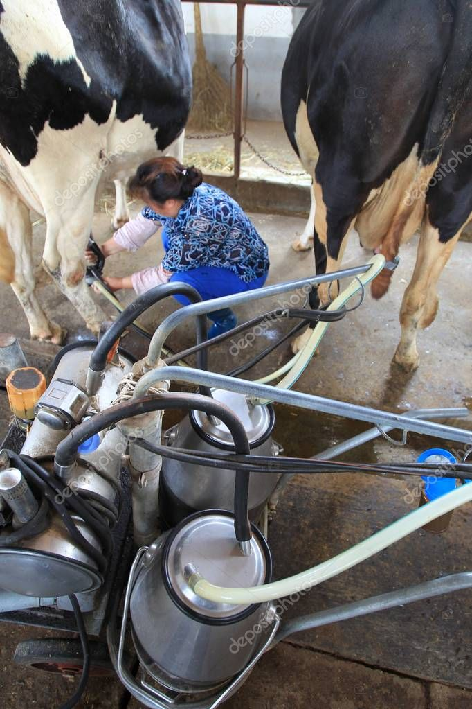 A Chinese worker milks a cow at a cow farm in Nantong city, east Chinas Jiangsu province, 8 July 2010