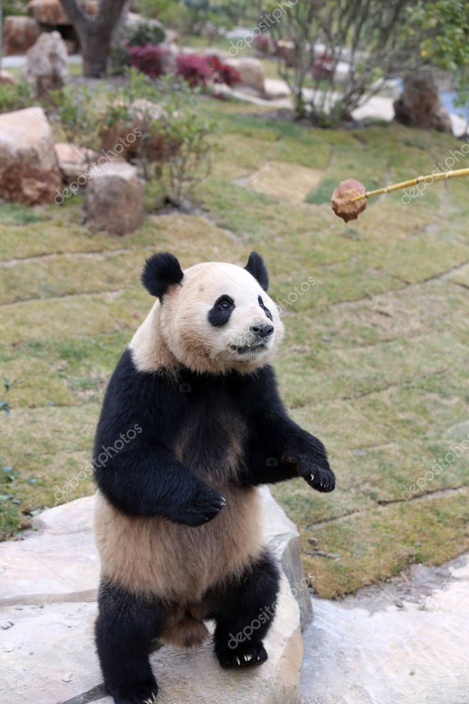 One of the giant panda twins