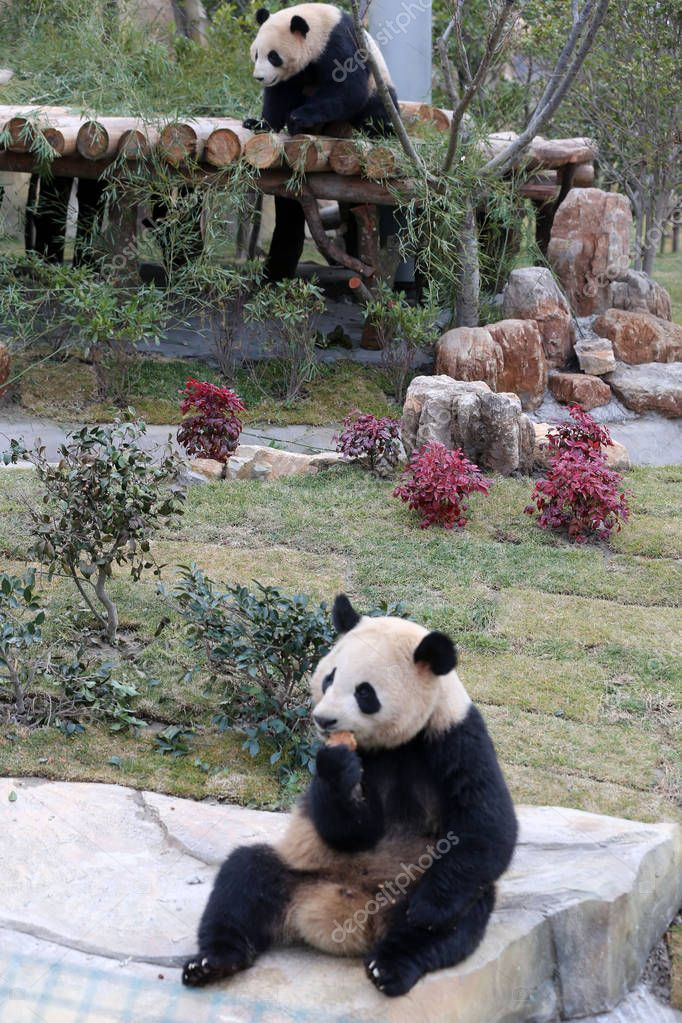 The giant panda twins