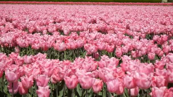 Pole růžové tulipány rozruch ve větru.