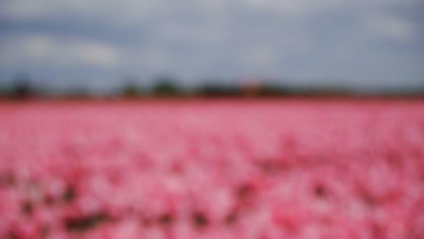 Růžové tulipány. Rozostření. Podnik s nejistým výsledkem