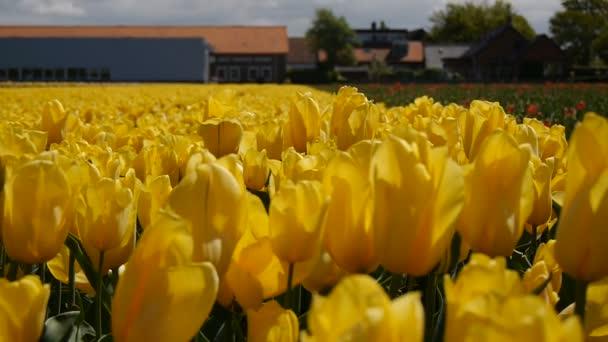 Panorama žlutých tulipánů. Detail