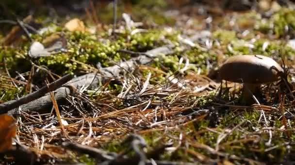 großer Pilz im Wald. Kameradutsche von rechts nach links. Herbstwetter. Nahaufnahme.