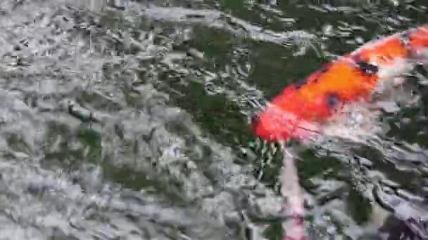 Různé barevné okrasné Koi kapry ryby, Cyprinus carpio, plavat v rychle tekoucí vodě rybníka
