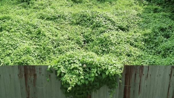 Jellemek invázió. Benőtt, vadon termő kúszónövény, átkelés a rozsdás hullámos fém kerítés.