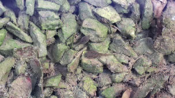 Pulci se koupat a jíst řasy na malé kameny ve vodě. Voda je plná řasy, listí, pulci výkaly a krásné vzduchových kapes.