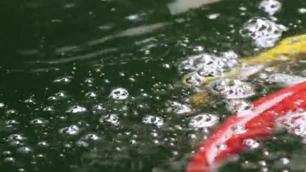 Různé barevné okrasné Koi kapry ryby, Cyprinus carpio, plavat v čerstvé tekoucí vody rybníku. Krásný vzduchové bubliny na vodní hladině.