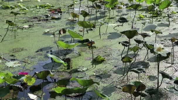 Výhled na zahradu. Rybník pokrytý Lotusem, lilií a plovoucími kachnami. Kormorán se potápí pro ryby v pozadí.