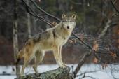 Fotografie krásný Vlk v zimě lese