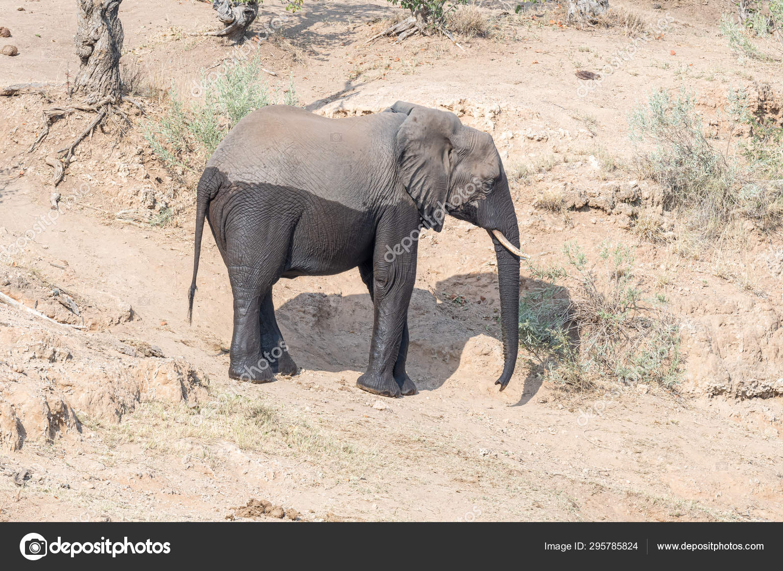 A Two Color African Elephant Stock Photo C Dpreezg 295785824