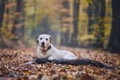 Smutný pes v podzimním lese. Staré Labradorský retrívr ležící na dráhy s holí.