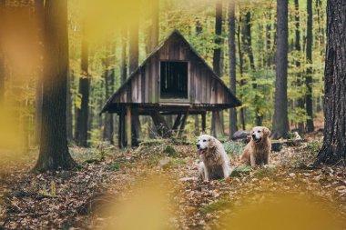 """Картина, постер, плакат, фотообои """"Два породистых Золотой ретривер в осенний лес. Пара старых собак, сидел в сухие листья."""", артикул 222431692"""
