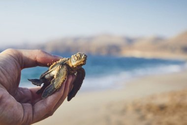 Rescue of green turtle. Human hand holding newborn turtle and carries them into sea. Ras Al Jinz, Sultanate of Oman.