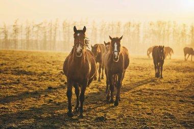 Herd of horses on field against landscape at golden sunset, Czech Republic