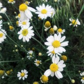 Fotografie Louka plná květin sedmikráska roste