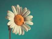 Beautiful Daisy (Marguerite) on blue-green background