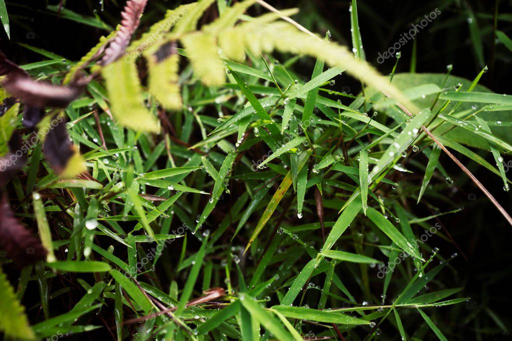 young bamboo sprouts in the morning with dew drops