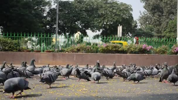 Pigeons and crows eat grains on a footpath in Connaught Place, Central Delhi as depicted in this timelapse video. The pigeons also fly away to return eating.