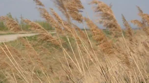 Pšeničné pole pod modrou oblohou za slunečného letního dne. Zlaté pšeničné pole se kymácí ve větru. Přírodní krajina. Mírumilovná scéna Uši pšenice zblízka. Koncept sklizně a sklizně. Ječmen rostlin v terénu