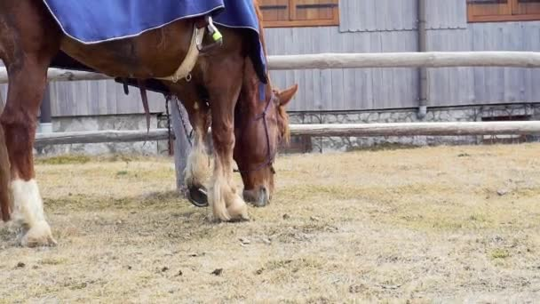Full hd slowmotion video of a red horse eating and chewing grass while waiting