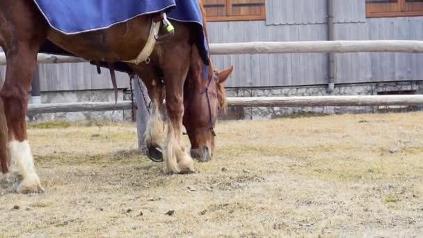 Full-HD video s červeným koněm požívacího a žvýkacího trávníku při čekání