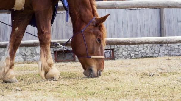 Full HD Slowmotion videó egy piros ló evés és rágás fű várakozás közben