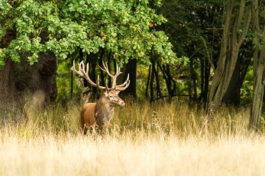 Male red deer (Cervus elaphus) with huge antlers during mating season in Denmark, mating season, Majestic powerful adult red deer stag outside autumn forest. Big animal in the nature forest habitat