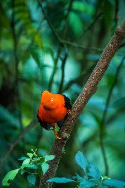 """Картина, постер, плакат, фотообои """"Самец турнирным Андский скальный петушок (Rupicola peruvianus) и dyplaing у самок, типичный брачного поведения, красивые оранжевую птицу в его природной среды, амазонских тропических лесов, Бразилия"""", артикул 234914320"""