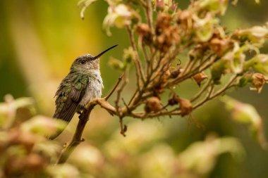 Green-and-white Hummingbird - Amazilia viridicauda, sitting on branch, bird from Peru, beautiful hummingbird sucking nectar from blossom, wildlife scenery from nature