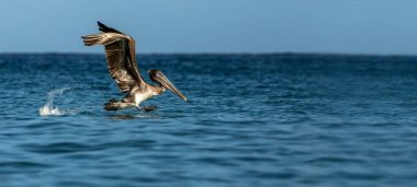 Fishing Brown Pelican, Pelecanus occidentalis taking off with outstretched wings, Tobago island. Wildlife scene from Caribean nature, exotic adventure, big marine bird on sea surface