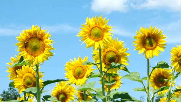 pole slunečnic krajiny
