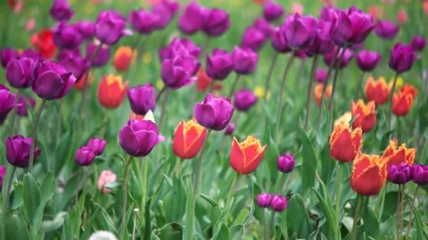 barevné tulipány v parku
