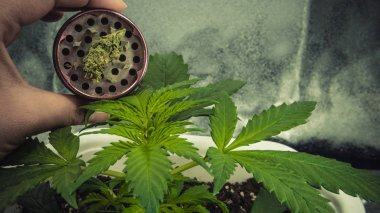 Medical marijuana plant growing indoor. Marijuana buds in greend