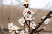 Bílé nádherné květiny mladé třešně na větvi na zatažené