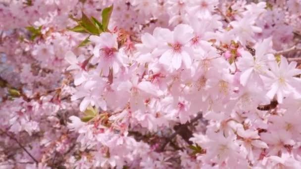 Na jaře sbírá včelí nektar v kvetoucích růžových květech. 4k zaostřená